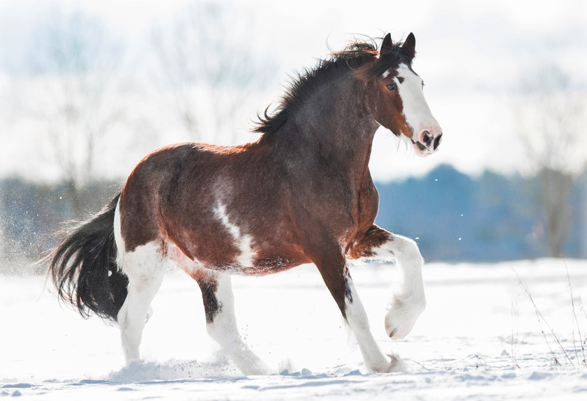 Clydesdale horse running in snow