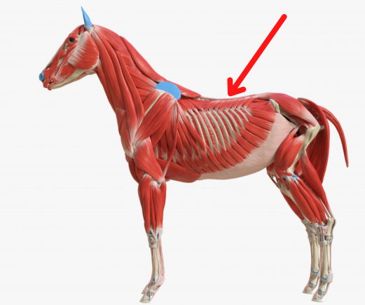 Muscle on a horse's back that supports a rider's weight