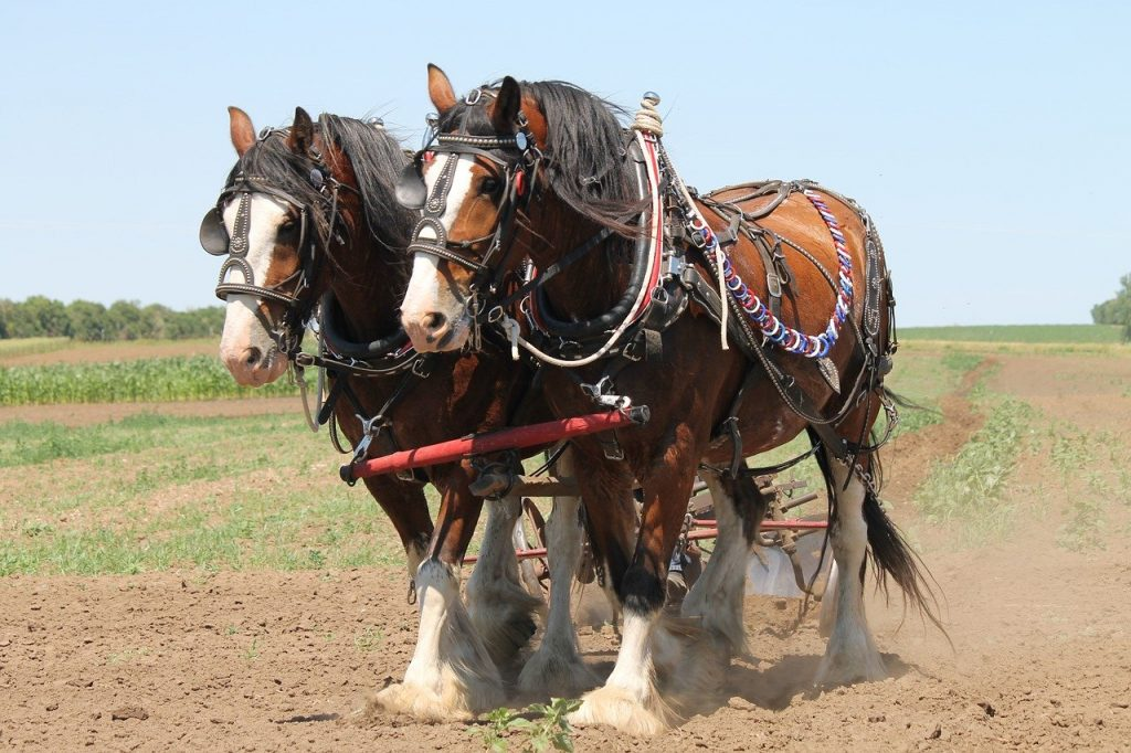 Clydesdale horses pulling a plow in a field
