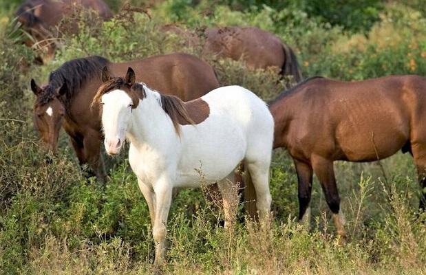 Extinct Abaco Bard horse breed herd