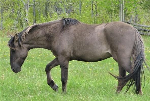 Sorraia horse, rarest horse breed in the world