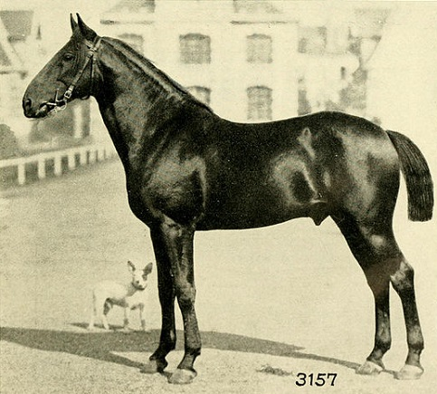 Old photo of an Anglo-Norman Horse