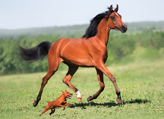 Arabian horse and little dog running side by side