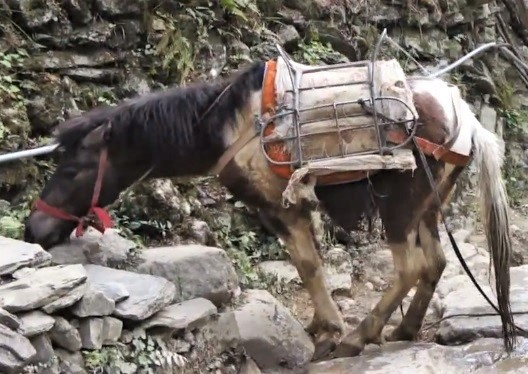 Baise horse crossing a river. A small horse breed from China