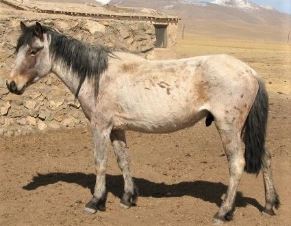 Balikun horse breed from China