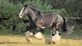 Facts about Shire horse breed. Black Shire horse running in a field