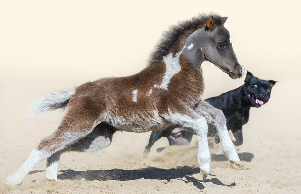Black Staffordshire Bull Terrier and tiny horse running