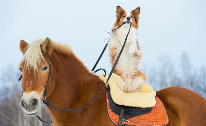 Border Collie dog on the back of a chestnut horse