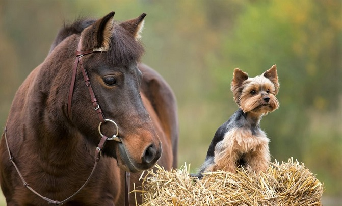 Brown horse and Yorkshire Terrier dog sitting on a hay bale