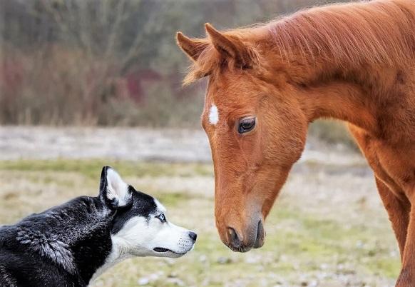 Chestnut horse and husky dog smelling each other