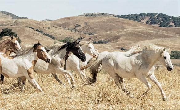 Chocktaw Indian Pony herd