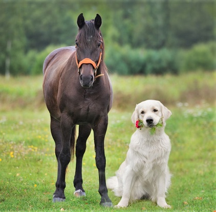 Dark horse and Labrador holding flowers in it's mouth