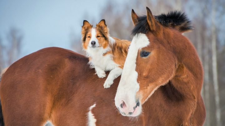 Draft horse and red border collie dog image