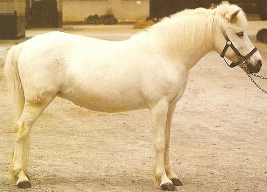 Small Guoxia horse breed from China