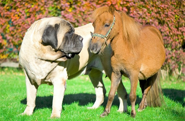 English Mastiff and mini horse smelling each other