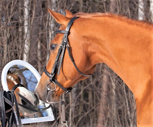 Horse looking into a mirror
