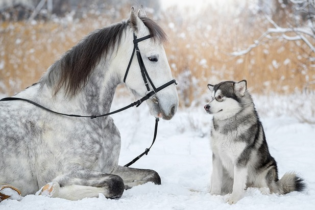 Husky and dapple grey horse laying in show