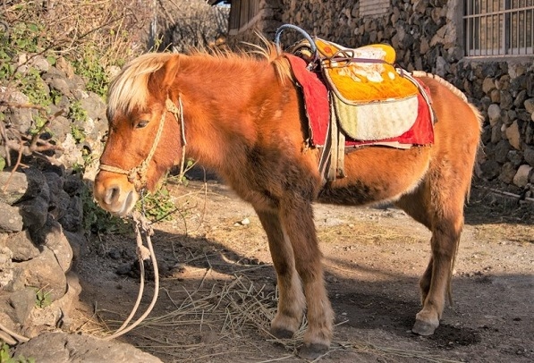 Lijiang pony breed tied up by a house in China