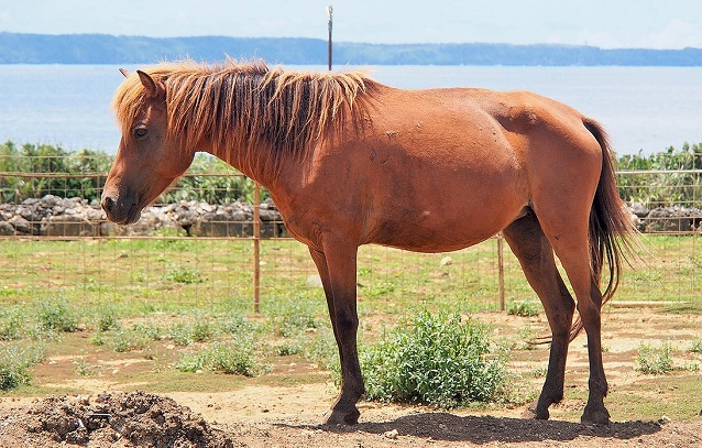 Miyako horse standing in a field by a fence