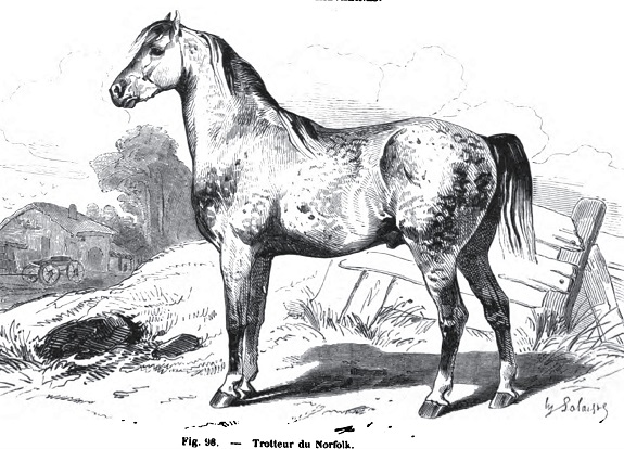 Norfolk Trotter horse drawing, an extinct English horse breed