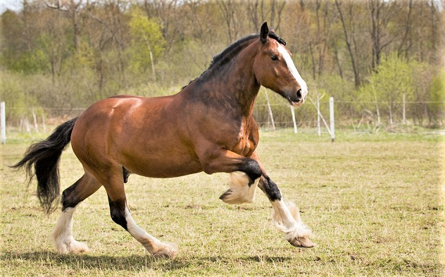 Shire horse cantering in a field