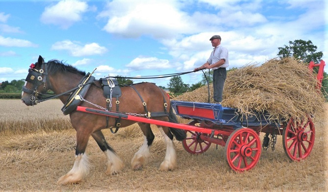 Shire horse working on a farm pulling a cart of hay