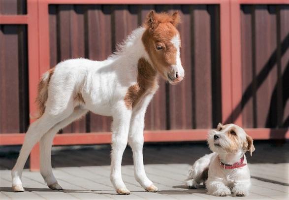 Small dog looking at a tiny pony