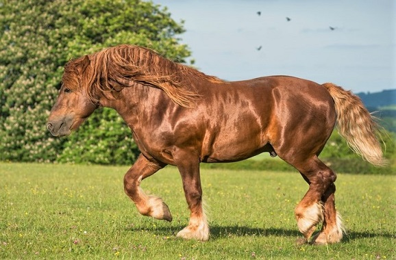 Rare Suffolk Punch horse breed found in England