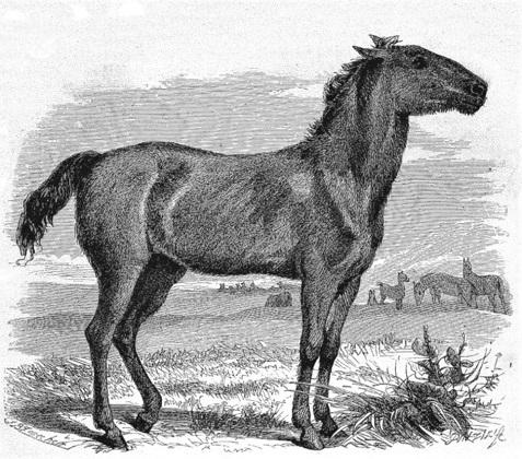 Wild and extinct Tarpan horse drawing