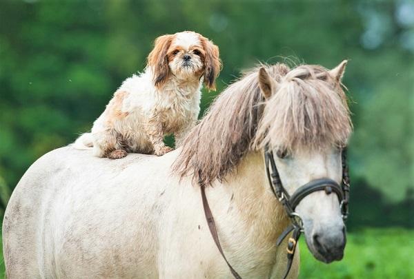 Tiny dog laying on a pony's back