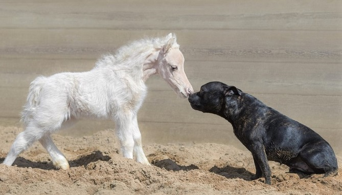 Tiny white horse and dog smelling each other
