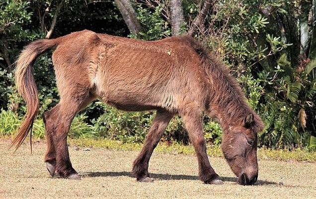 Tokara pony breed found in Japan