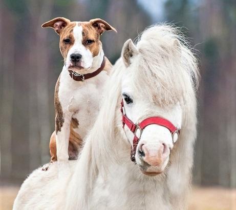 White dog on a horse's back