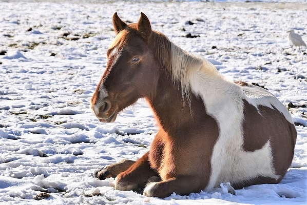 Horse laying down in snow