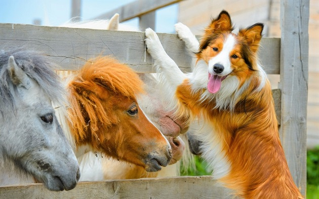 Ponies and a Border Collie dog