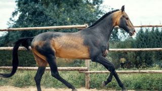 Akhal Teke horse cantering in a sandy ménage