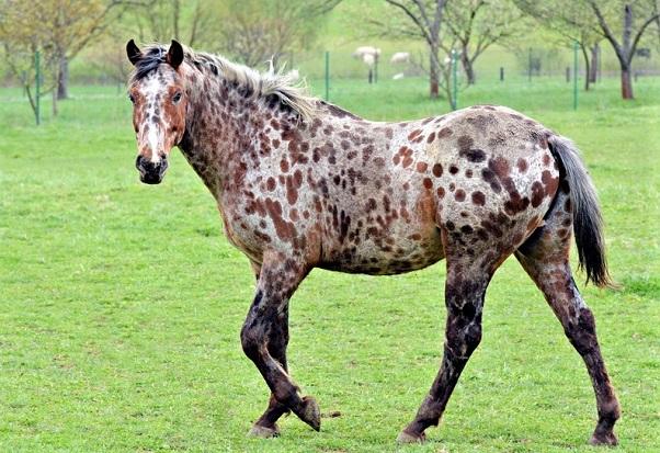 Appaloosa horse in a field