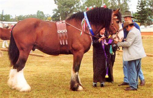 Australian Draft Horse at a horse show
