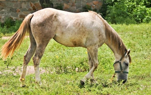 Azteca horse grazing on grass