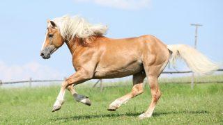 Beautiful Haflinger stallion, an Italian horse breed