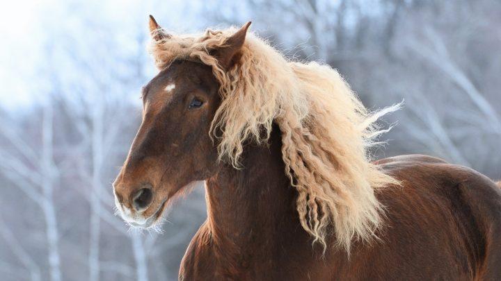 Native Russian horse breed, Soviet Heavy Draft horse