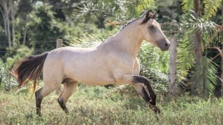 Mangalarga Marchador, a beautiful South American horse breed