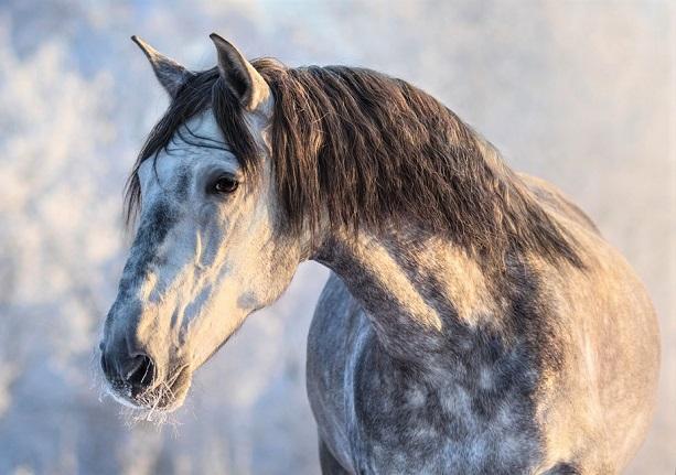 Dapple grey Andalusian horse close up