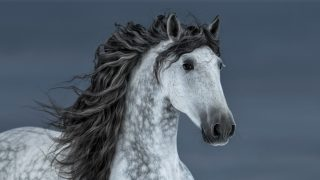 Grey Andalusian horse breed with a long dark mane