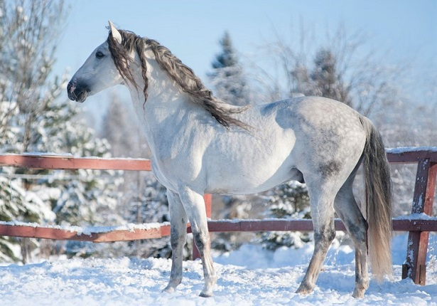 Grey Andalusian horse standing in a snowy field