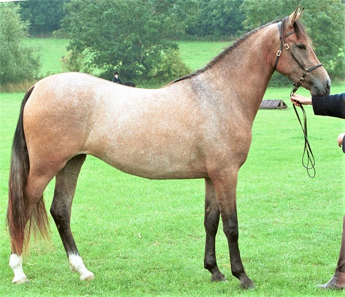 Hispano Arabe horse being bred in the UK