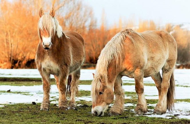 Two Hispano-Breton horses grazing in a snowy field
