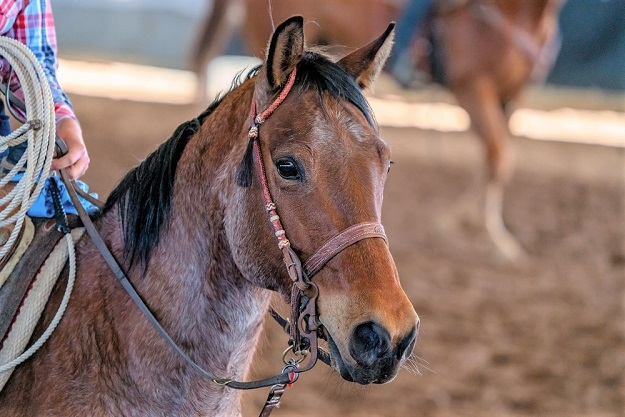Close up horse being ridden rodeo with it's ears forward
