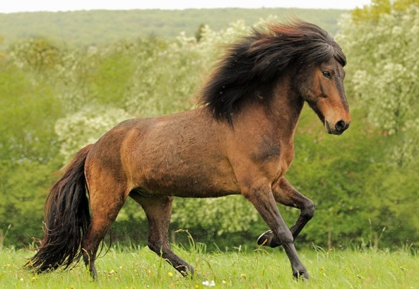 Icelandic horse with a long mane running through a field