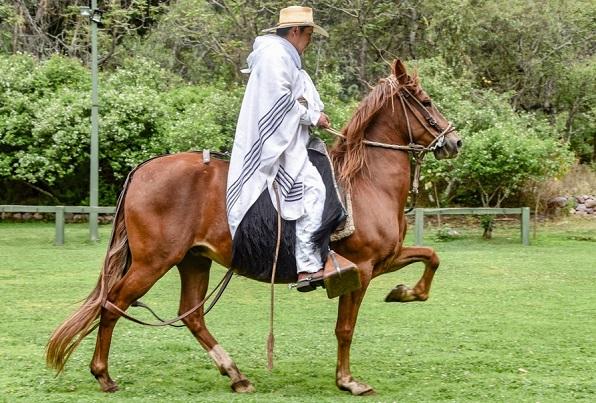 Man riding a Paso Fino horse